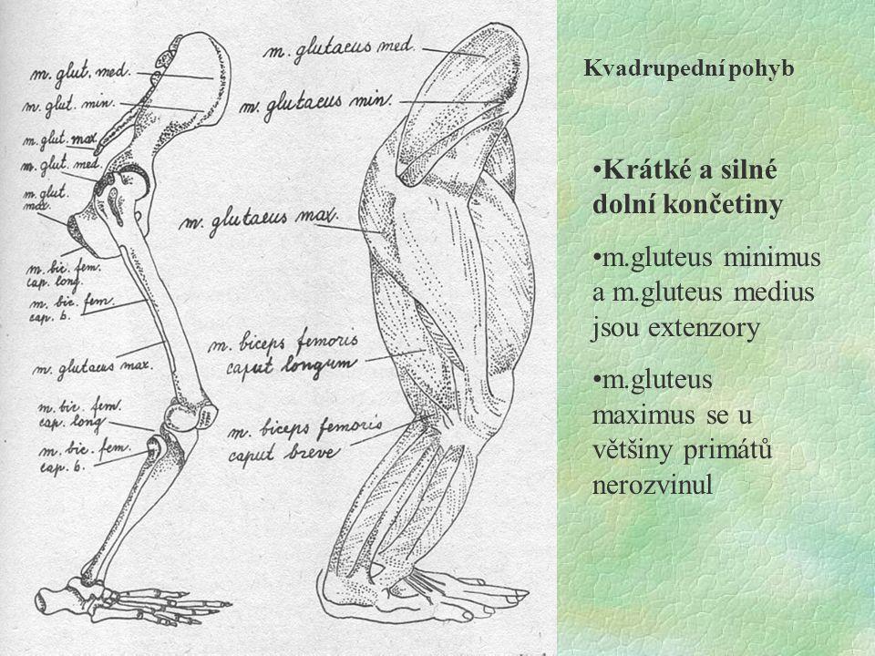 Kvadrupední pohyb Krátké a silné dolní končetiny m.gluteus minimus a m.gluteus medius jsou extenzory m.gluteus maximus se u většiny primátů nerozvinul