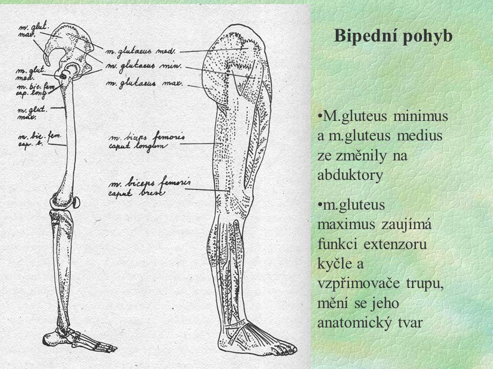 Bipední pohyb M.gluteus minimus a m.gluteus medius ze změnily na abduktory m.gluteus maximus zaujímá funkci extenzoru kyčle a vzpřimovače trupu, mění