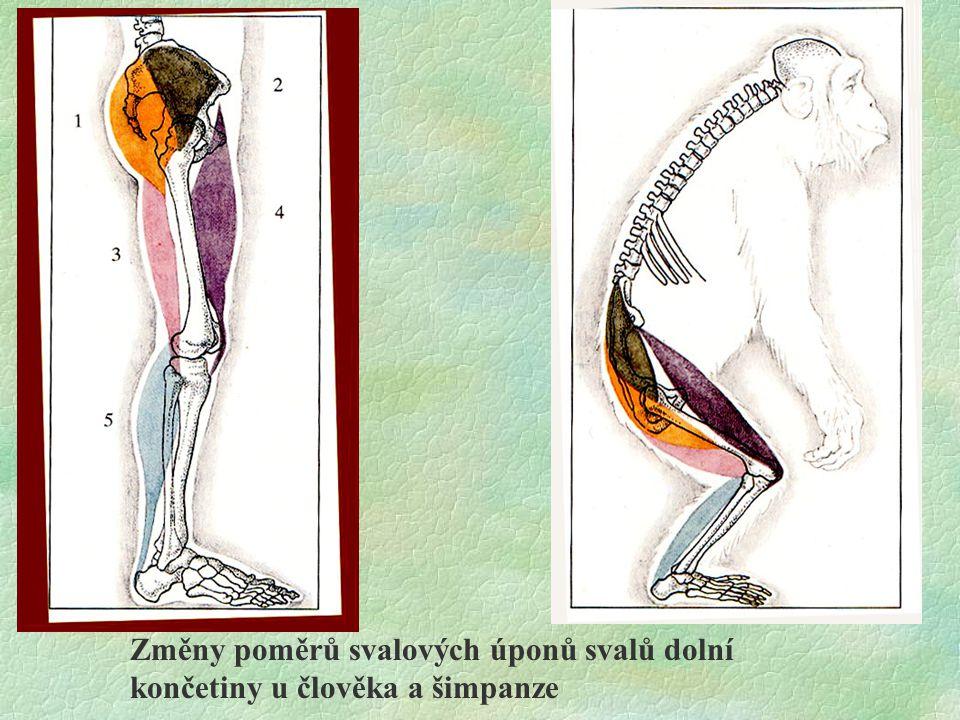 Odlišný poměr palce k ostatním prstům Umístěn souběžně s osou nohy a ostatními prsty Palec nemá schopnost opozice Noha nemá funkci uchopit Palec má schopnost opozice a vbočuje dovnitř