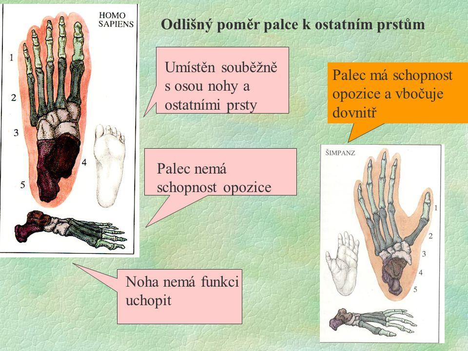 Odlišný poměr palce k ostatním prstům Umístěn souběžně s osou nohy a ostatními prsty Palec nemá schopnost opozice Noha nemá funkci uchopit Palec má sc
