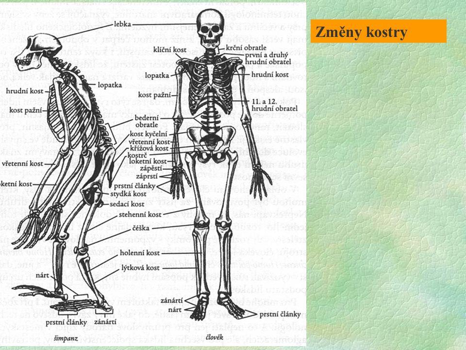 PŘEDCHŮDCI ČLOVĚKA ČLOVĚK LEBKA Tylní otvor na spodině lebky - silné šíjové svaly - občas pohled dopředu jako u čtyřnožců Tylní otvor posunut až na samou spodinu lebky - směřuje šikmo dopředu, svaly nejsou tak silné a nejsou upnuty na lebku v takové rozsáhlé ploše PÁTEŘ Obloukovitá s C lordózou Esovité zakřivení, trup vytažen nad DKK a vyvážen souhrou funkcí vzpřimovačů trupu a břišního svalstva