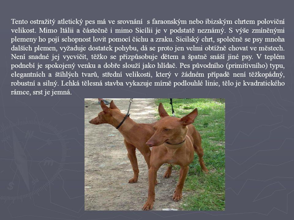 Tento ostražitý atletický pes má ve srovnání s faraonským nebo ibizským chrtem poloviční velikost.
