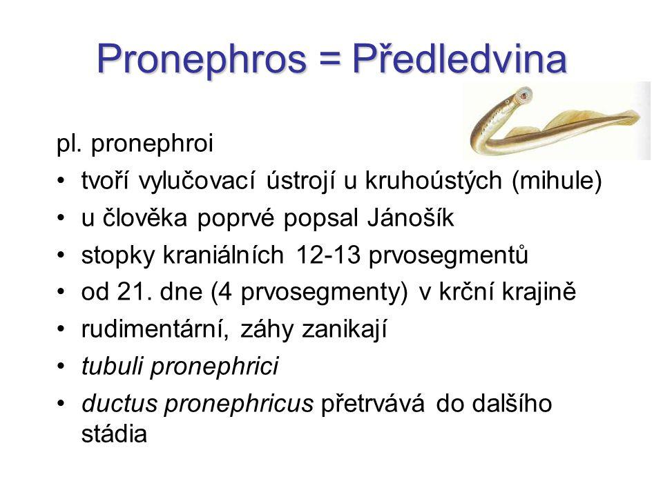 Pronephros = Předledvina pl. pronephroi tvoří vylučovací ústrojí u kruhoústých (mihule) u člověka poprvé popsal Jánošík stopky kraniálních 12-13 prvos