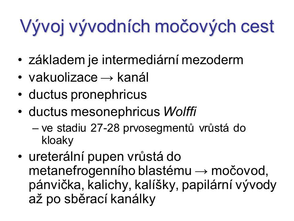 Vývoj vývodních močových cest základem je intermediární mezoderm vakuolizace → kanál ductus pronephricus ductus mesonephricus Wolffi –ve stadiu 27-28