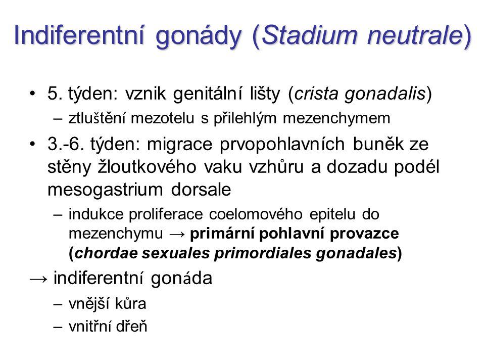 Indiferentní gonády (Stadium neutrale) 5. týden: vznik genitální lišty (crista gonadalis) –ztlu š těn í mezotelu s přilehlým mezenchymem 3.-6. týden: