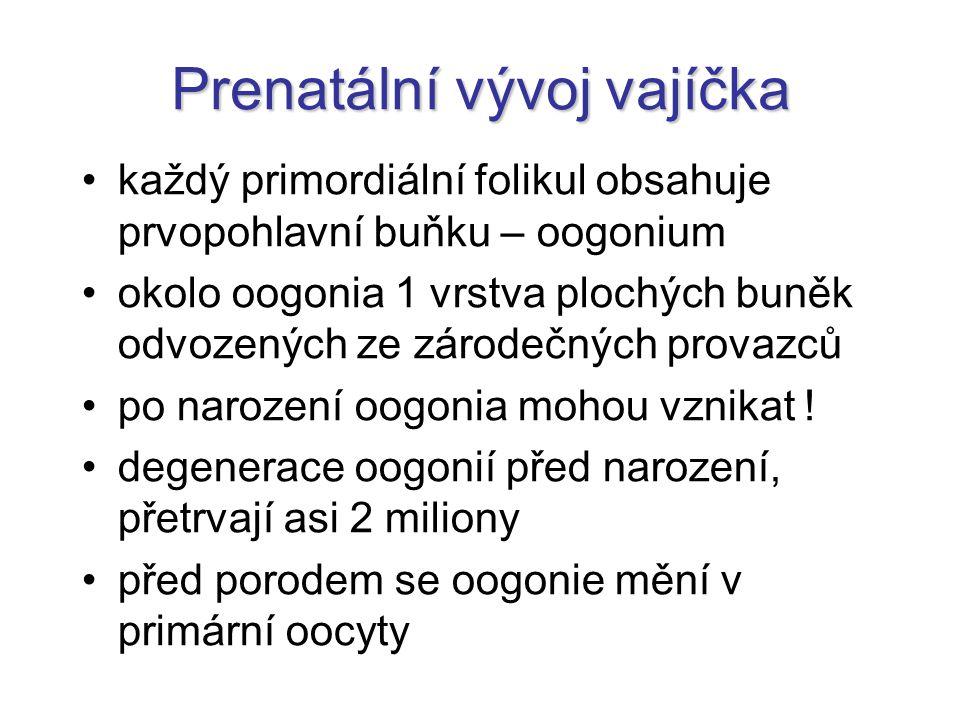 Prenatální vývoj vajíčka každý primordiální folikul obsahuje prvopohlavní buňku – oogonium okolo oogonia 1 vrstva plochých buněk odvozených ze zárodeč