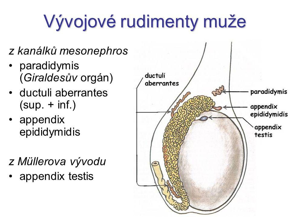 Vývojové rudimenty muže z kanálků mesonephros paradidymis (Giraldesův orgán) ductuli aberrantes (sup. + inf.) appendix epididymidis z Müllerova vývodu