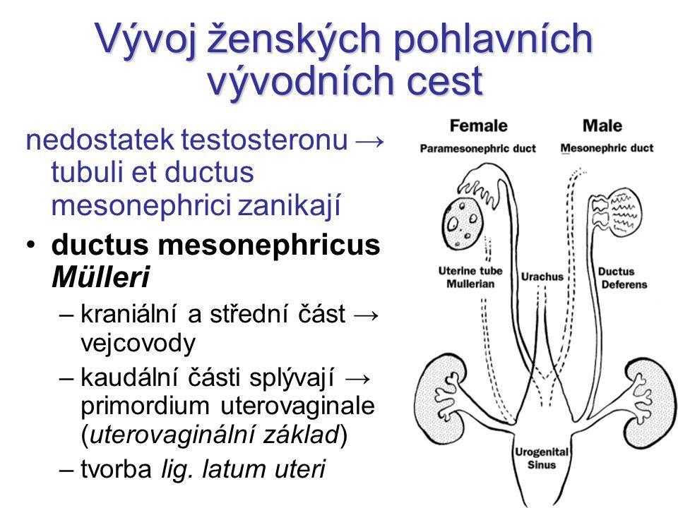 Vývoj ženských pohlavních vývodních cest nedostatek testosteronu → tubuli et ductus mesonephrici zanikají ductus mesonephricus Mülleri –kraniální a st