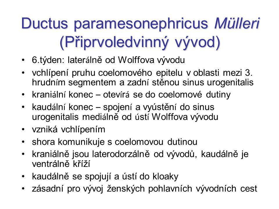 Ductus paramesonephricus Mülleri (Připrvoledvinný vývod) 6.týden: later á lně od Wolffova vývodu vchlípení pruhu coelomového epitelu v oblasti mezi 3.