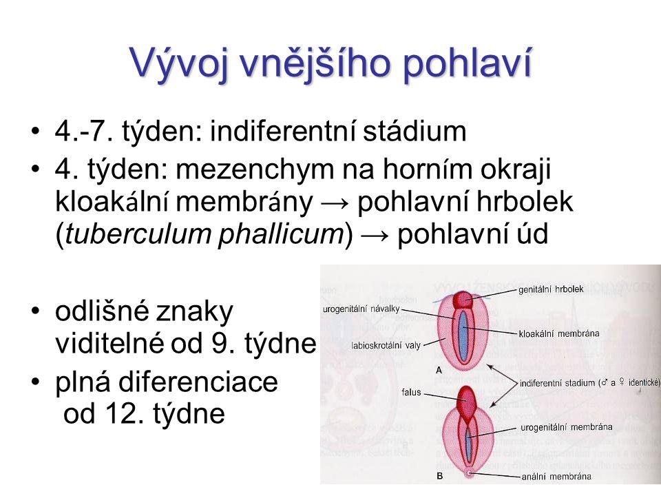 Vývoj vnějšího pohlaví 4.-7. týden: indiferentní stádium 4. týden: mezenchym na horn í m okraji kloak á ln í membr á ny → pohlavní hrbolek (tuberculum