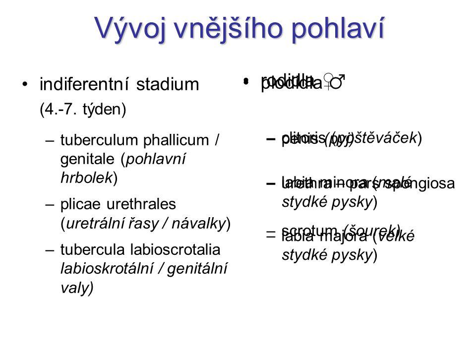 Vývoj vnějšího pohlaví indiferentní stadium (4.-7. týden) –tuberculum phallicum / genitale (pohlavní hrbolek) –plicae urethrales (uretrální řasy / náv