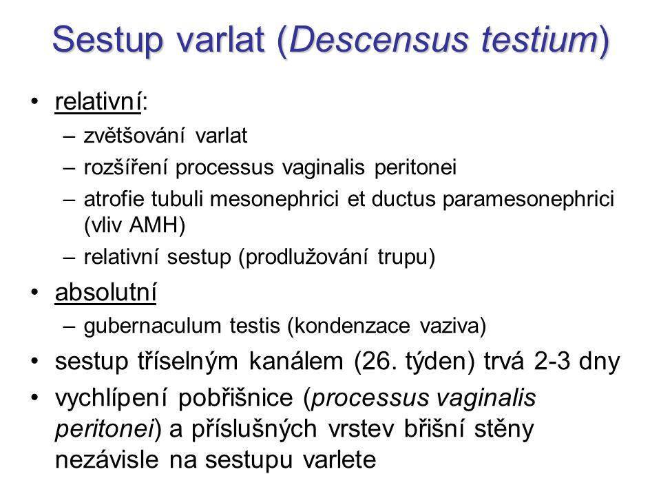 Sestup varlat (Descensus testium) relativní: –zvětšování varlat –rozšíření processus vaginalis peritonei –atrofie tubuli mesonephrici et ductus parame