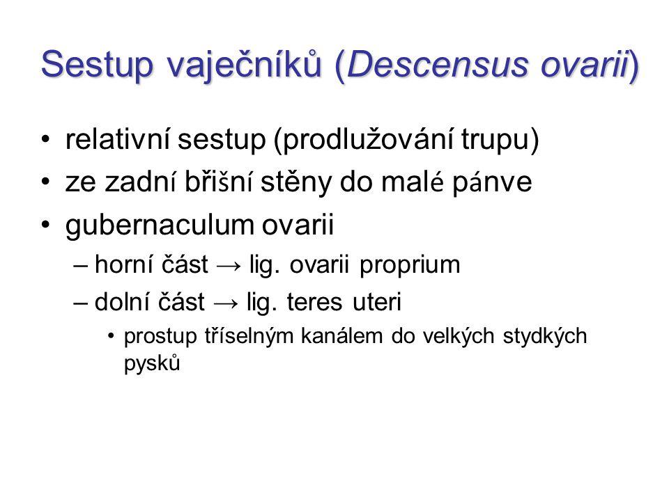 Sestup vaječníků (Descensus ovarii) relativní sestup (prodlužování trupu) ze zadn í bři š n í stěny do mal é p á nve gubernaculum ovarii –horní část →