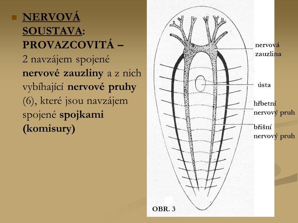 NERVOVÁ SOUSTAVA: PROVAZCOVITÁ – 2 navzájem spojené nervové zauzliny a z nich vybíhající nervové pruhy (6), které jsou navzájem spojené spojkami (komi