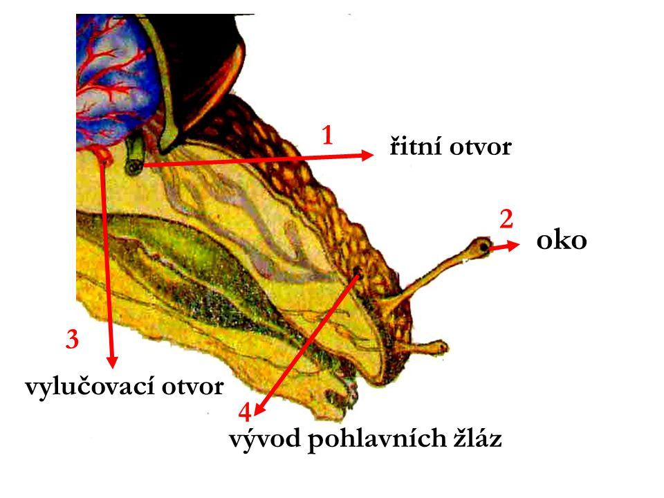 oko vylučovací otvor vývod pohlavních žláz 1 3 2 4