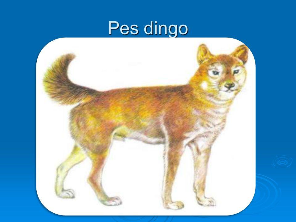 Pes dingo