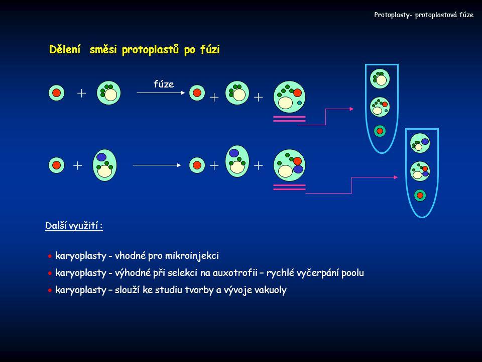 + ++ fúze +++ Dělení směsi protoplastů po fúzi Další využití :  karyoplasty - vhodné pro mikroinjekci  karyoplasty - výhodné při selekci na auxotrof