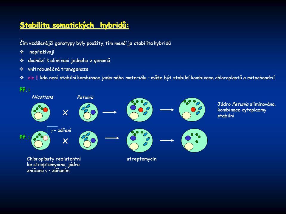 Stabilita somatických hybridů: Čím vzdálenější genotypy byly použity, tím menší je stabilita hybridů  nepřežívají  dochází k eliminaci jednoho z gen