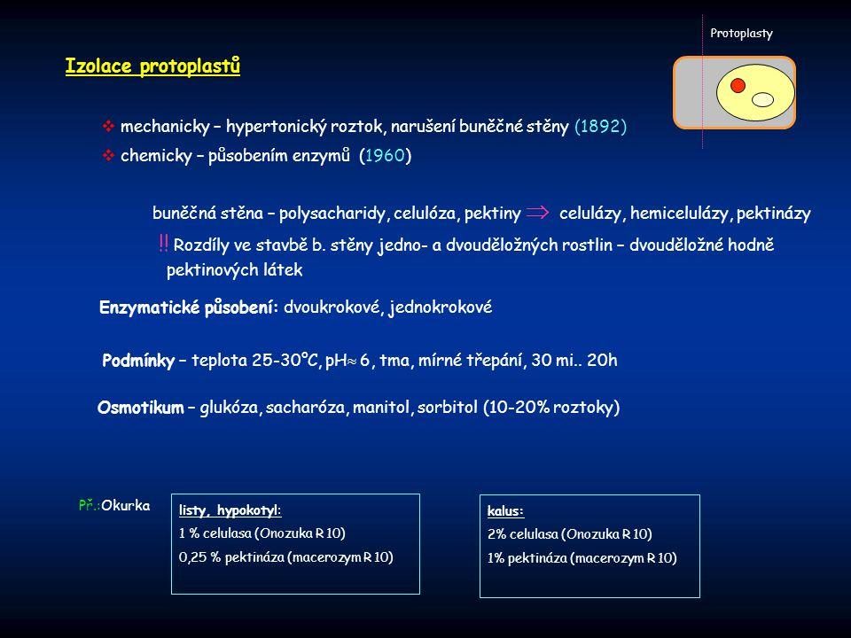 Izolace protoplastů Protoplasty  mechanicky – hypertonický roztok, narušení buněčné stěny (1892)  chemicky – působením enzymů (1960) buněčná stěna –