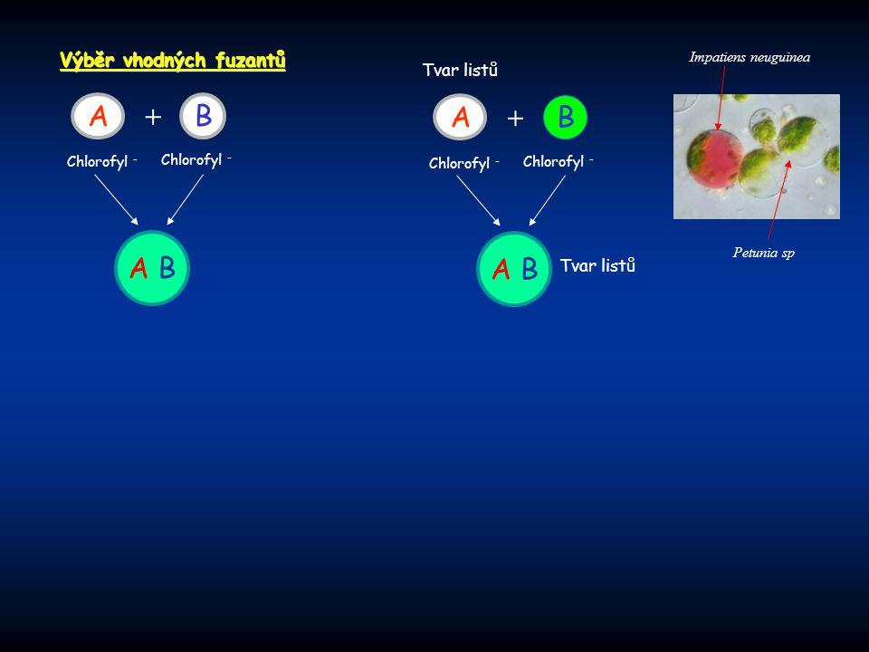 Výběr vhodných fuzantů AB + Chlorofyl - A B A B + Chlorofyl - A B Tvar listů Petunia sp Impatiens neuguinea
