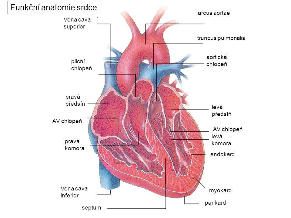 perikard myokard endokard septum Vena cava superior Vena cava inferior truncus pulmonalis arcus aortae aortická chlopeň levá předsíň pravá předsíň pli