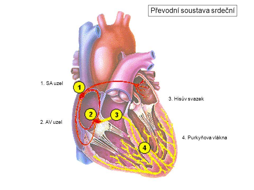 1. SA uzel 2. AV uzel 3. Hisův svazek 4. Purkyňova vlákna Převodní soustava srdeční