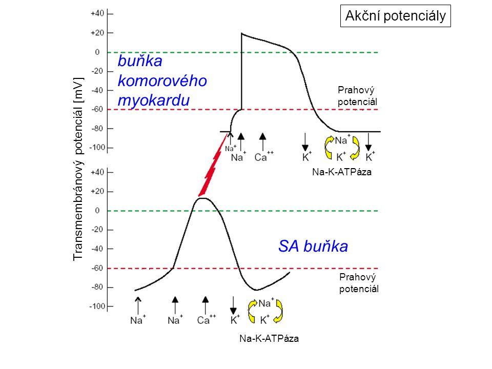 SA buňka buňka komorového myokardu Prahový potenciál Prahový potenciál Transmembránový potenciál [mV] Na-K-ATPáza Akční potenciály