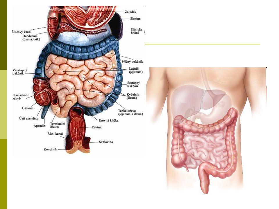 Tenké střevo – intestinum tenue  Stavba stěny:  1.