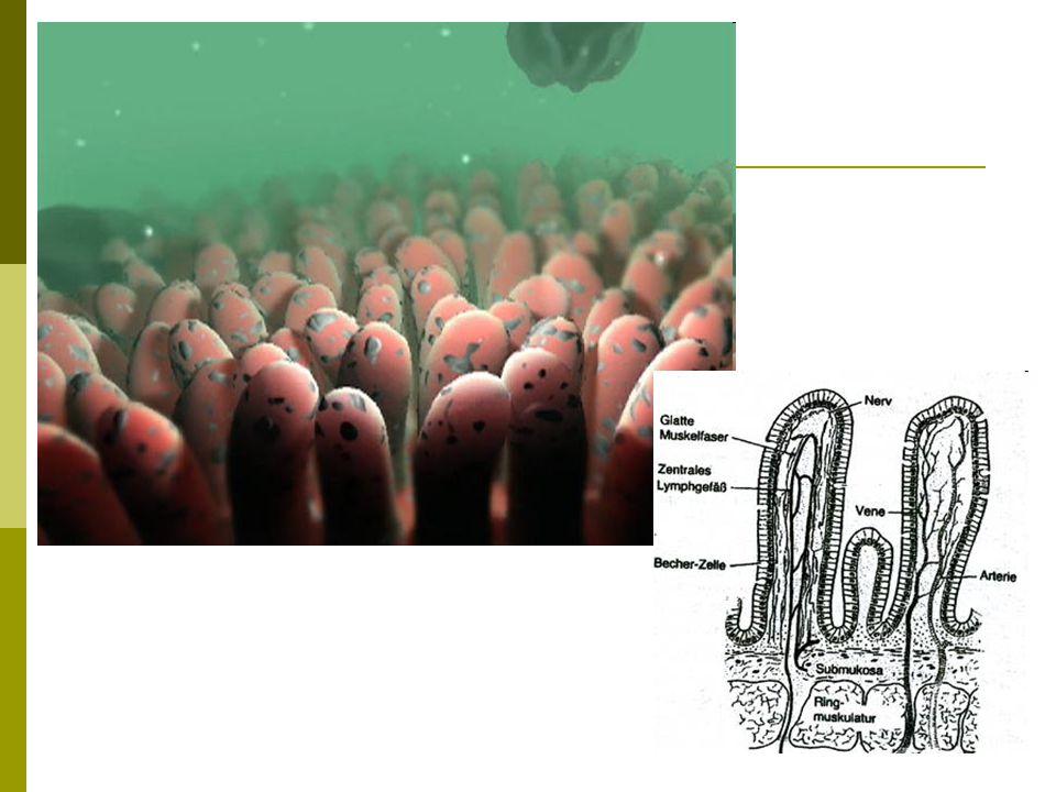 Tenké střevo – intestinum tenue  Sliznice – pokračování:  Obsahuje žlázky – produkce střevní šťávy  Složení:  Voda  Proteáza – enzym erepsin – štěpí bílkoviny na aminokyseliny  Střevní amyláza – štěpí cukry na jednoduché – glukóza, fruktóza, galaktóza  Střevní lipáza – štěpí tuky na glycerol a MK  1 – 3 litry/den  Slabě zásaditá  Produkce je řízena reflexně  Dokončuje štěpení B, C, T za pomoci pankreatické šťávy a žluče