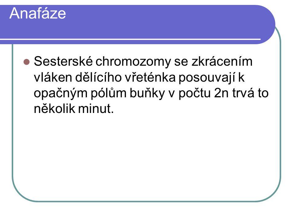 Anafáze Sesterské chromozomy se zkrácením vláken dělícího vřeténka posouvají k opačným pólům buňky v počtu 2n trvá to několik minut.