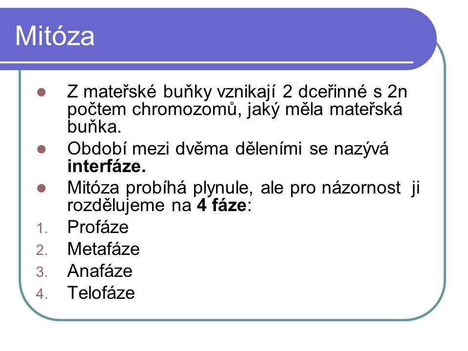 Mitóza Z mateřské buňky vznikají 2 dceřinné s 2n počtem chromozomů, jaký měla mateřská buňka.