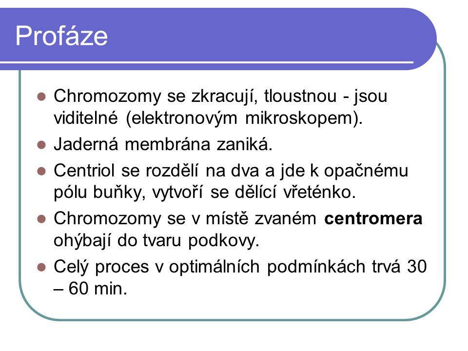 Profáze Chromozomy se zkracují, tloustnou - jsou viditelné (elektronovým mikroskopem).