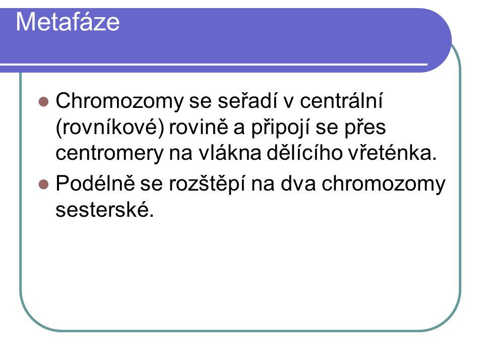 Metafáze Chromozomy se seřadí v centrální (rovníkové) rovině a připojí se přes centromery na vlákna dělícího vřeténka.