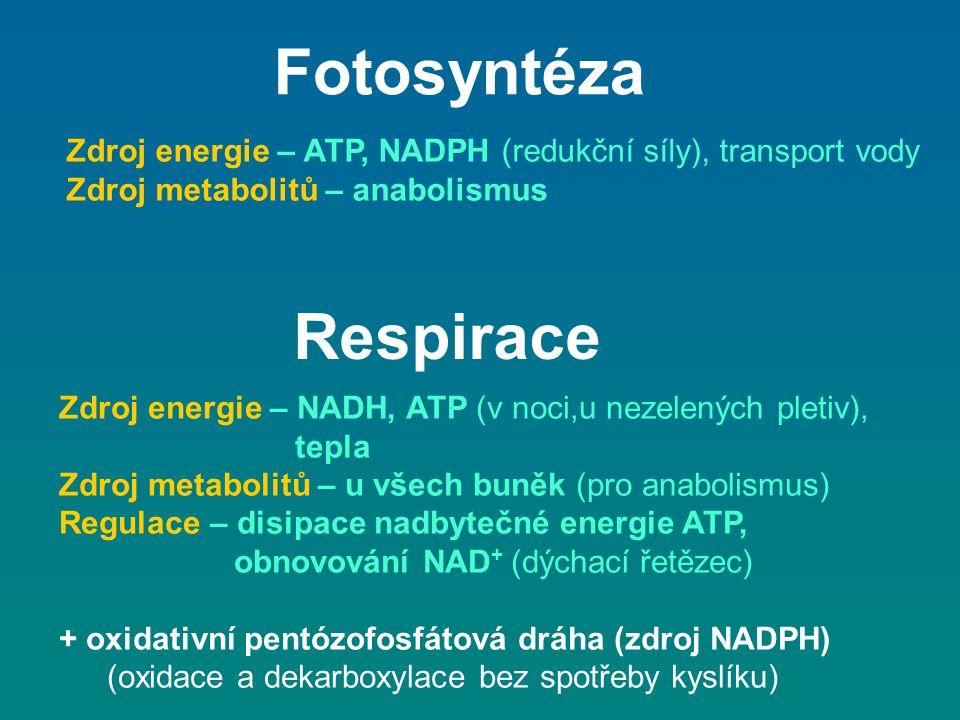 Respirace Zdroj energie – NADH, ATP (v noci,u nezelených pletiv), tepla Zdroj metabolitů – u všech buněk (pro anabolismus) Regulace – disipace nadbyte