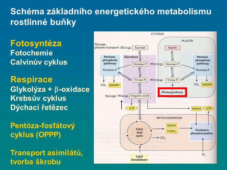 Schéma základního energetického metabolismu rostlinné buňky Fotosyntéza Fotochemie Calvinův cyklus Respirace Glykolýza +  -oxidace Krebsův cyklus Dýc