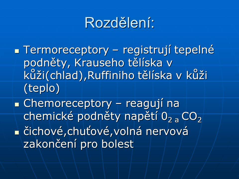 Rozdělení: Radioreceptory – citlivé na světelné elektromagnetické vlny- tyčinky a čípky Radioreceptory – citlivé na světelné elektromagnetické vlny- tyčinky a čípky Podle uložení receptorů – exteroreceptory – kůže Podle uložení receptorů – exteroreceptory – kůže interoreceptory –sliznice interoreceptory –sliznice proprioreceptory - šlachy proprioreceptory - šlachy