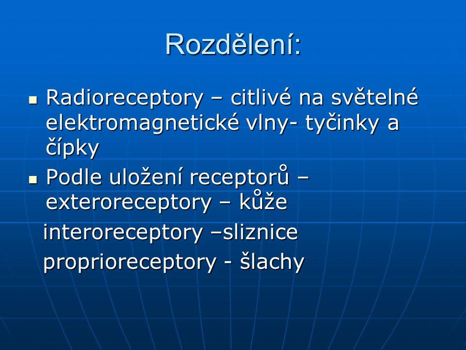 Rozdělení: Radioreceptory – citlivé na světelné elektromagnetické vlny- tyčinky a čípky Radioreceptory – citlivé na světelné elektromagnetické vlny- t