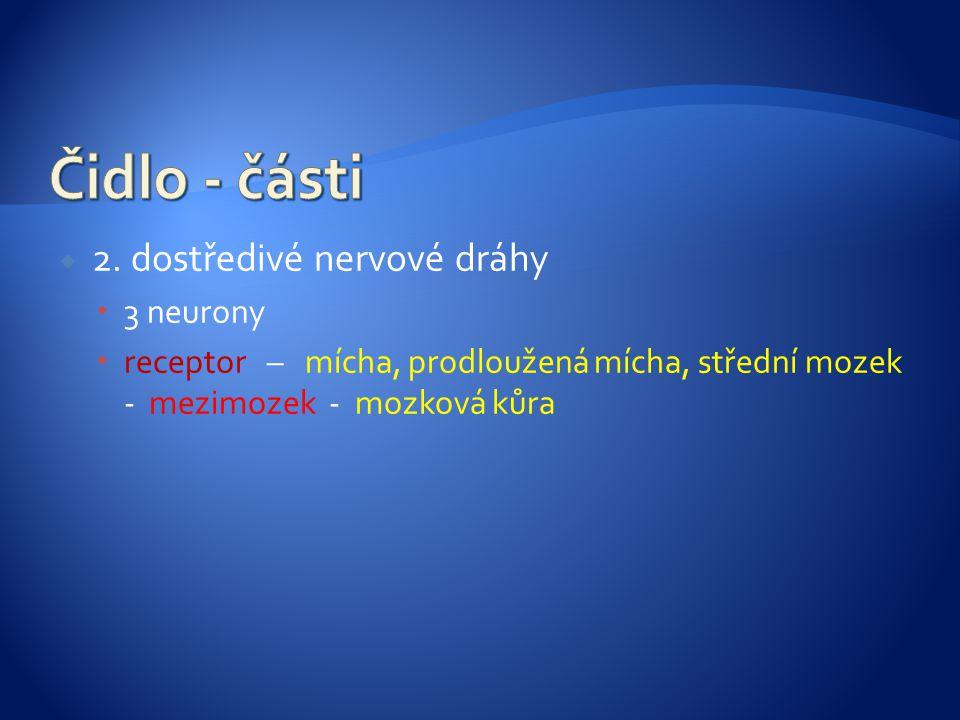 2. dostředivé nervové dráhy  3 neurony  receptor – mícha, prodloužená mícha, střední mozek - mezimozek - mozková kůra