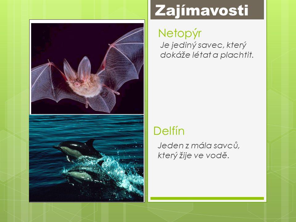 Netopýr Je jediný savec, který dokáže létat a plachtit.