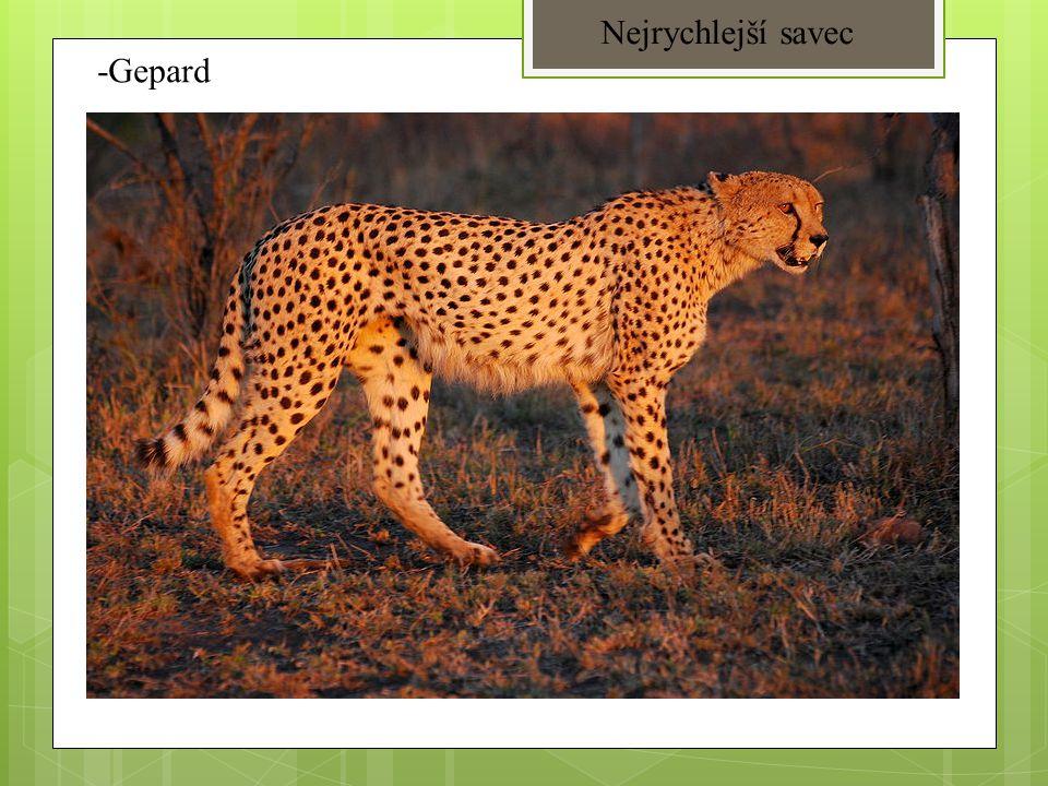 -Gepard Nejrychlejší savec
