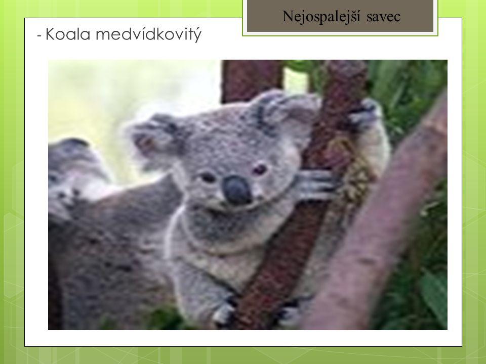 - Koala medvídkovitý Nejospalejší savec