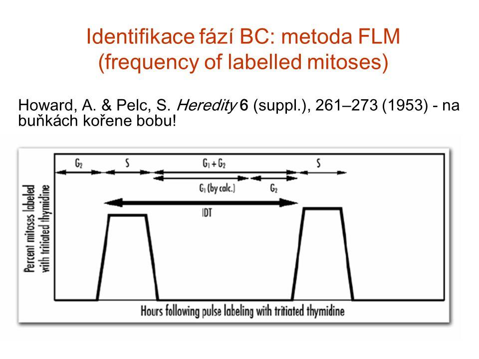 Identifikace f á z í BC: metoda FLM (frequency of labelled mitoses) Howard, A. & Pelc, S. Heredity 6 (suppl.), 261 – 273 (1953) - na buňk á ch kořene