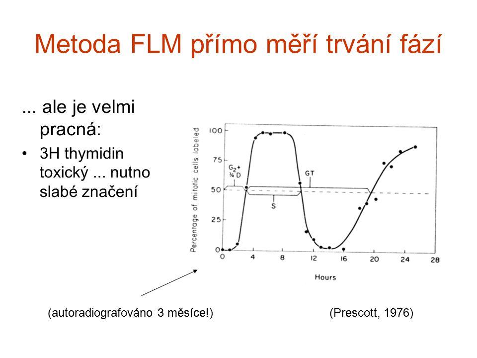 Metoda FLM př í mo měř í trv á n í f á z í... ale je velmi pracn á : 3H thymidin toxický... nutno slab é značen í (Prescott, 1976)(autoradiografováno