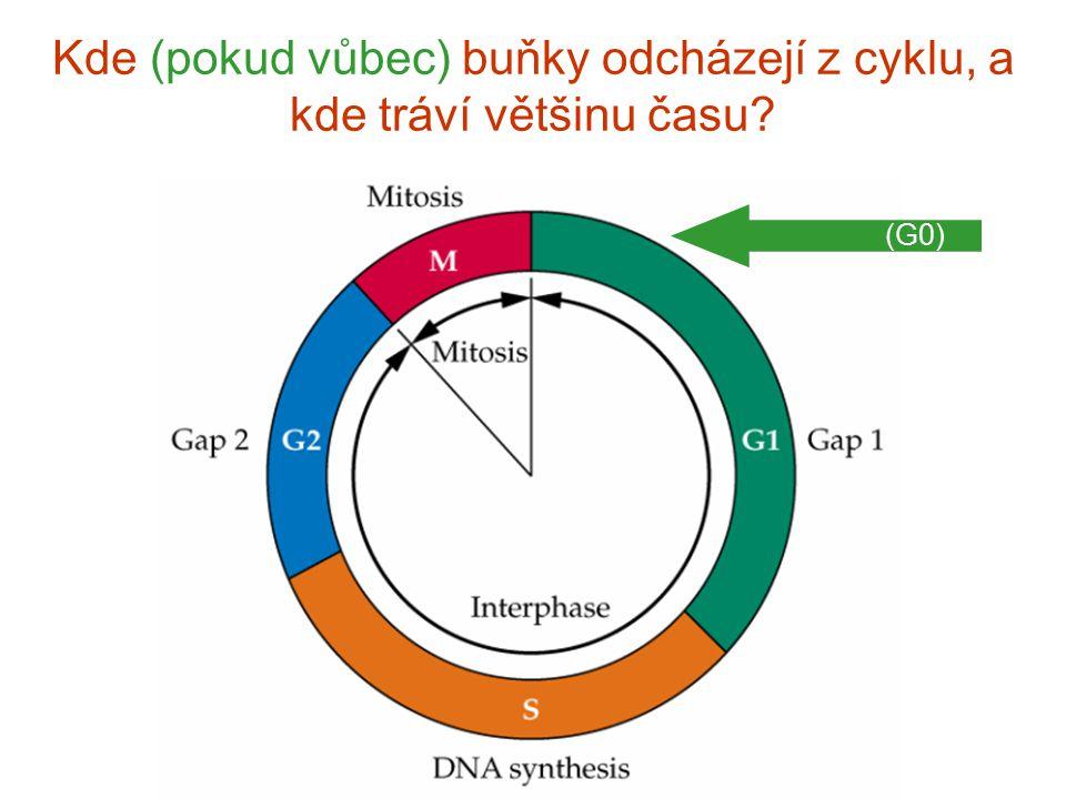 Kde (pokud vůbec) buňky odch á zej í z cyklu, a kde tr á v í vět š inu času? (G0)