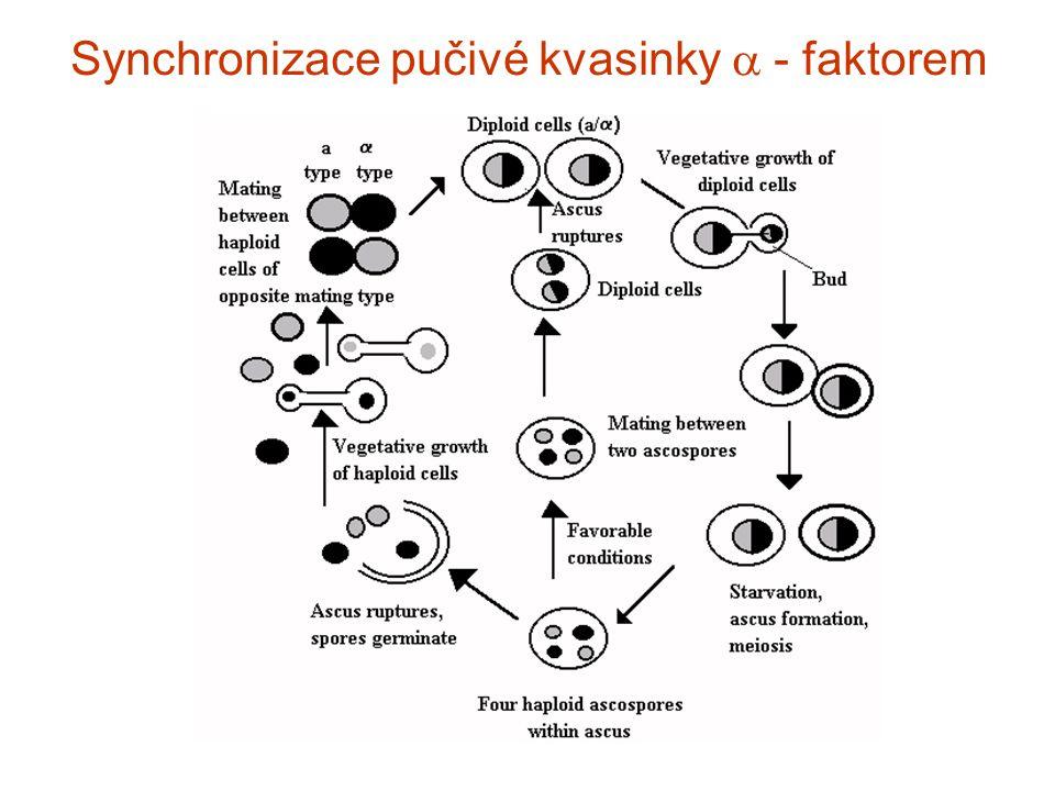 Synchronizace pučivé kvasinky  - faktorem