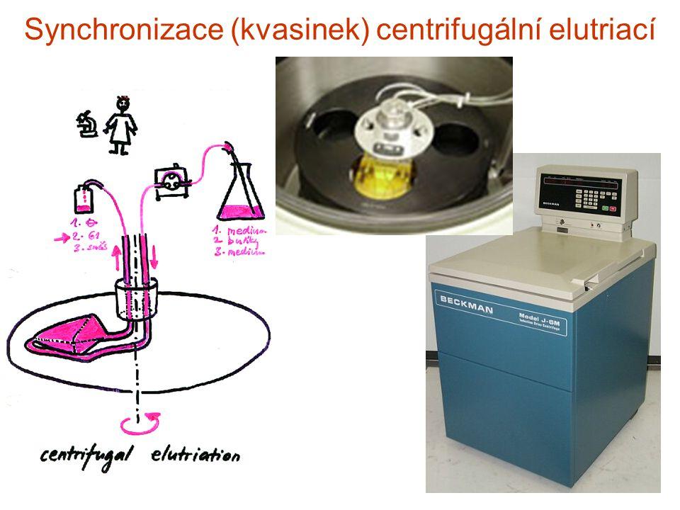 Synchronizace (kvasinek) centrifugální elutriací