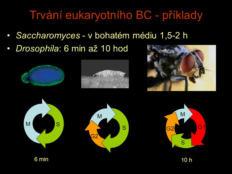 Trvání eukaryotního BC - příklady Saccharomyces - v bohatém médiu 1,5-2 h Drosophila: 6 min až 10 hod M S 6 min 10 h M M S S G2 G1