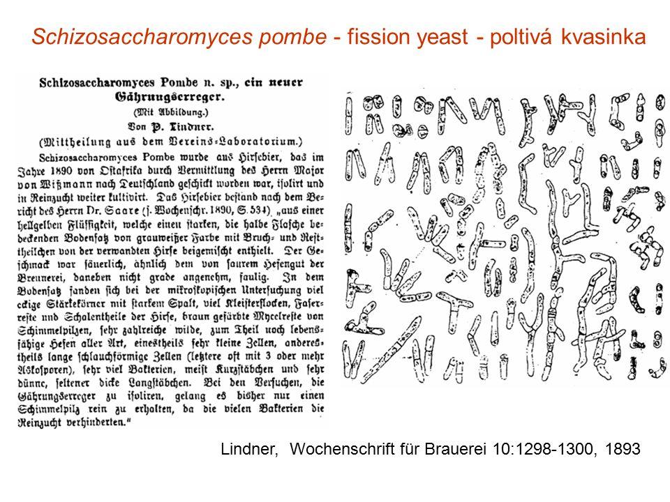 Lindner, Wochenschrift für Brauerei 10:1298-1300, 1893 Schizosaccharomyces pombe - fission yeast - poltivá kvasinka