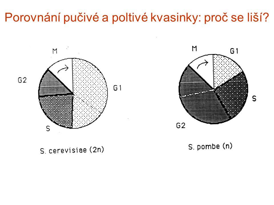 Porovnání pučivé a poltivé kvasinky: proč se liší?