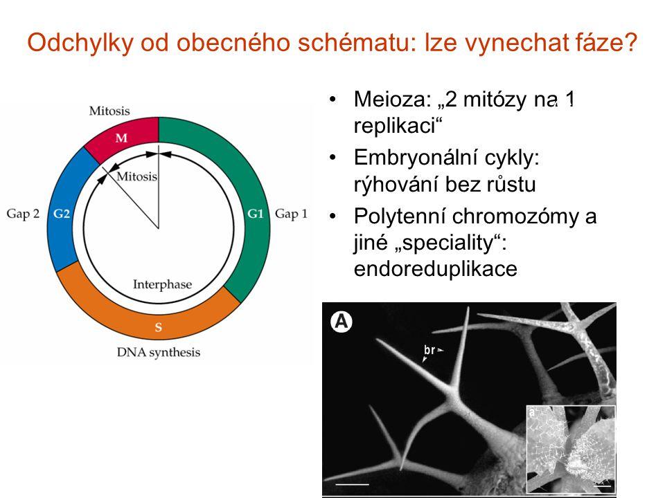 """Odchylky od obecn é ho sch é matu: lze vynechat f á ze? Meioza: """" 2 mit ó zy na 1 replikaci """" Embryon á ln í cykly: rýhov á n í bez růstu Polytenn í c"""